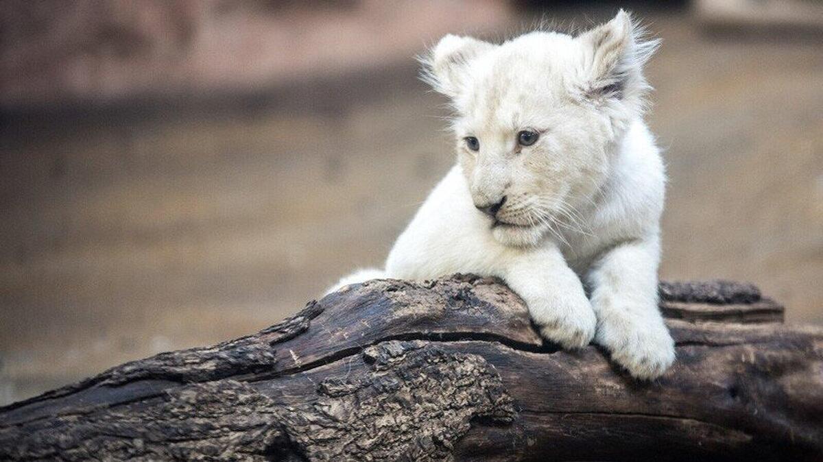 El lleó blanc es troba ocasionalment a les reserves naturals de Sud-àfrica, i es cria de manera selectiva a molts zoològics del planeta
