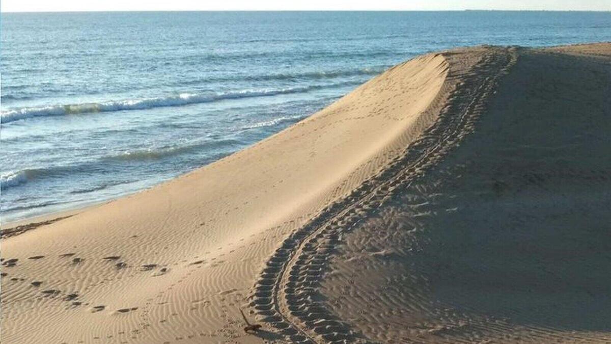 Imatge dels rastres de tortugues babaua trobats recentment al Delta de l'Ebre